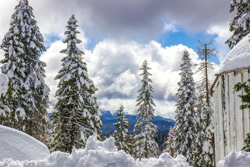 Snow Laden Trees With Mountains In Background. Snow Laden Trees In Forest With Mountains & Clouds In Background stock photos