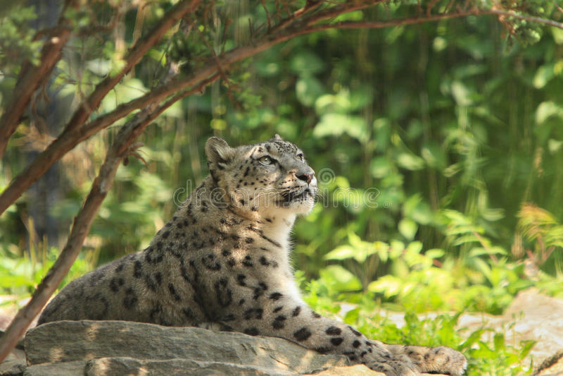 Snow Leopard, stock photography
