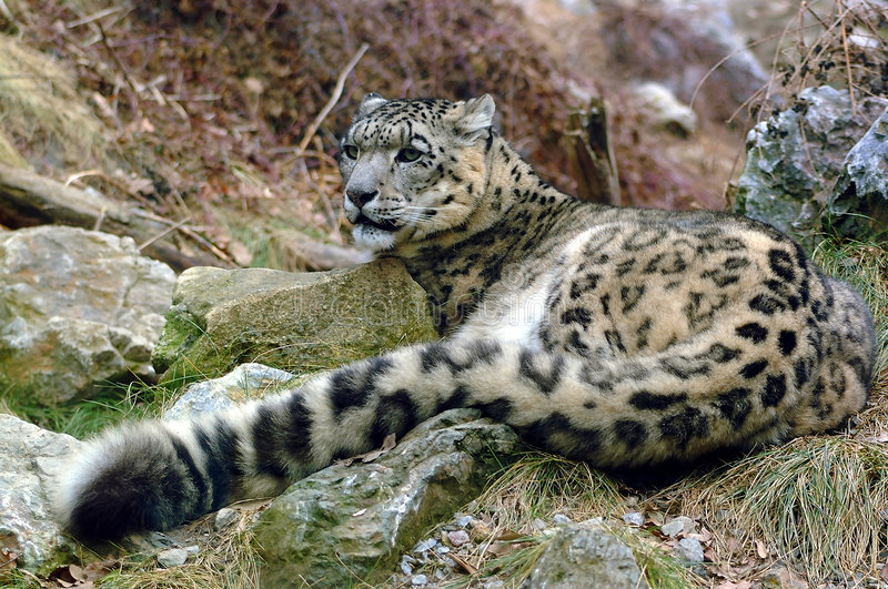 Snow Leopard Stock Image. Image Of Snow, Endangered