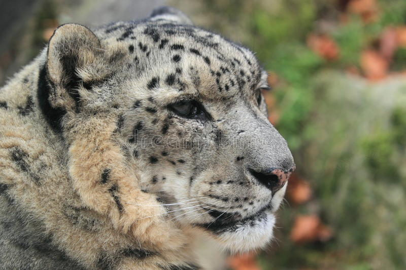 Snow leopard. The detail of snow leopard head stock photo