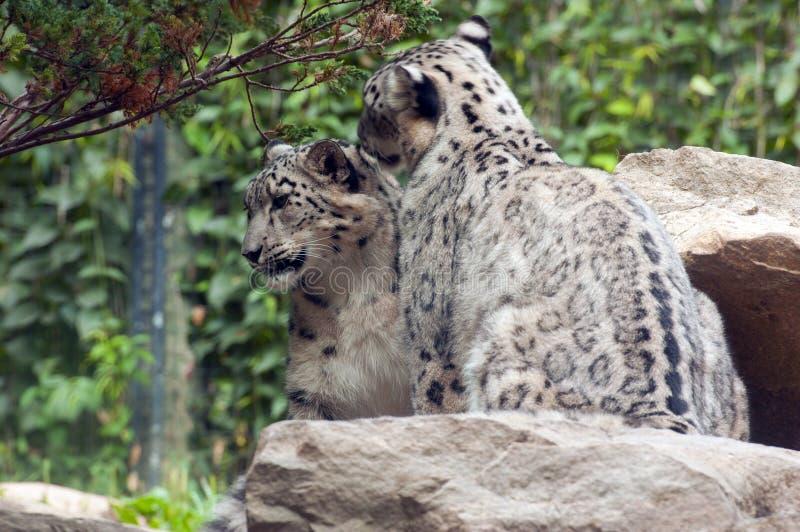 Download Snow leopard stock photo. Image of predator, standing - 22870104