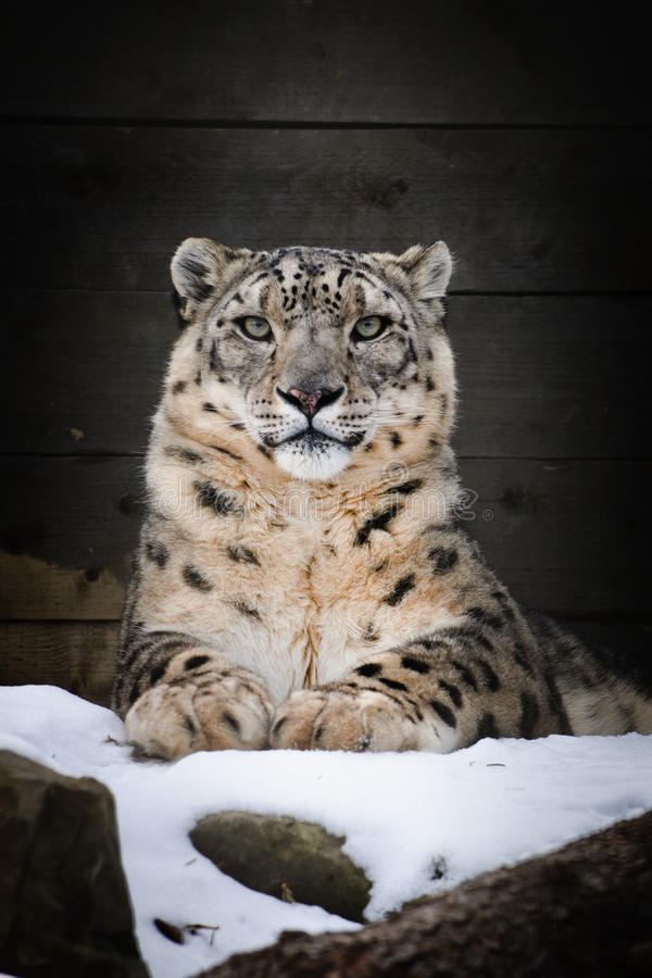 Download Snow Leopard stock photo. Image of wildlife, portrait - 24783192