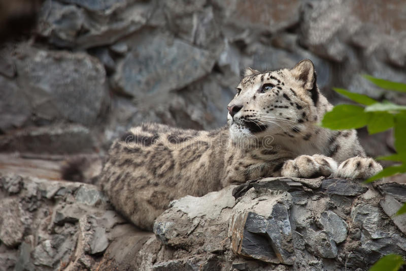 Download Snow leopard stock photo. Image of fluffy, spotted, portrait - 26206570