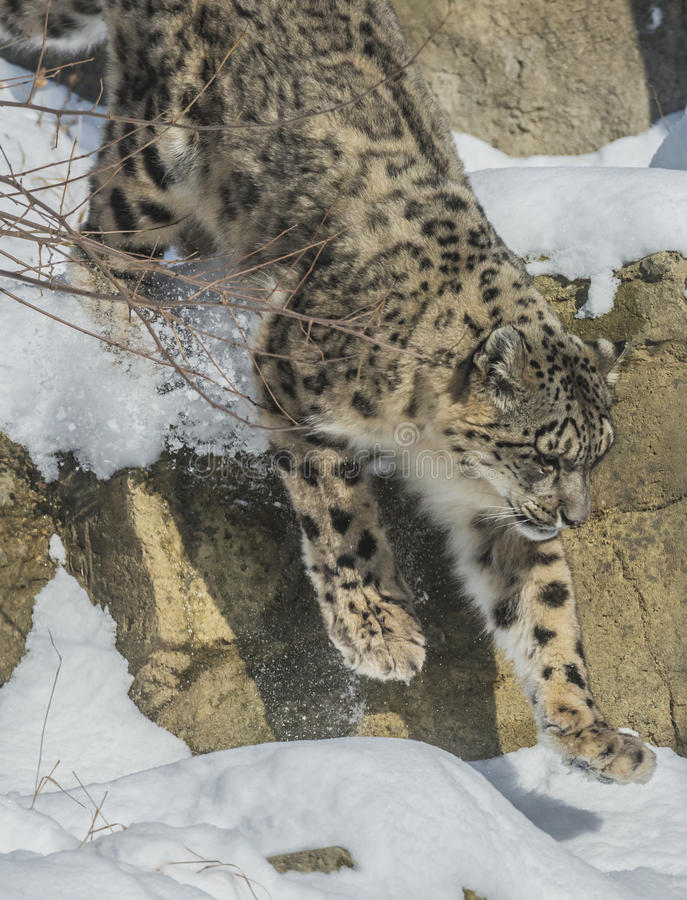 Free Snow Leopard Stock Photos - 35883883