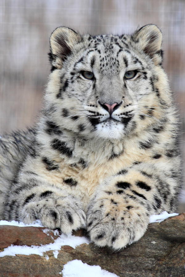 Free Snow Leopard Royalty Free Stock Photo - 37954505
