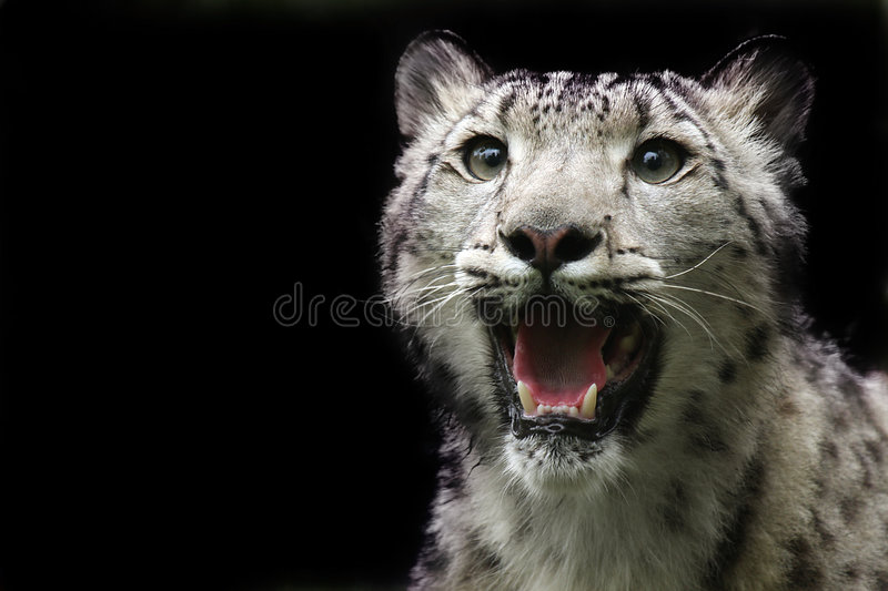 Download Snow Leopard stock photo. Image of spotted, beautiful - 5410236