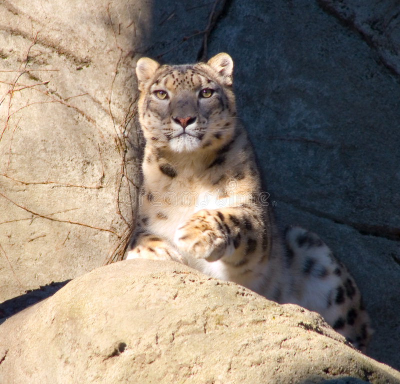 Download Snow Leopard stock image. Image of wildlife, majestic - 7561645