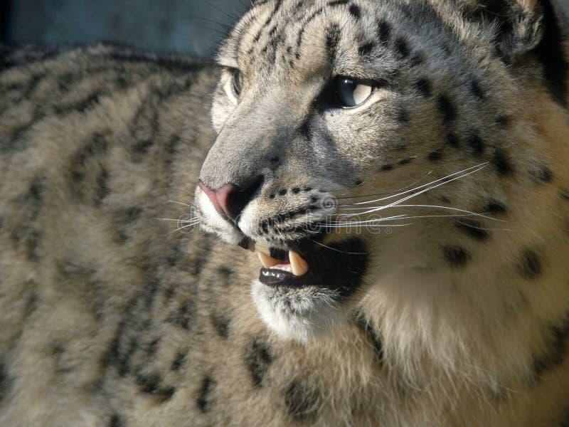 Snow leopard. A snow Leopard (Uncia uncia) at Jihlava Zoo in Eastern Bohemia, Czech Republic stock photos