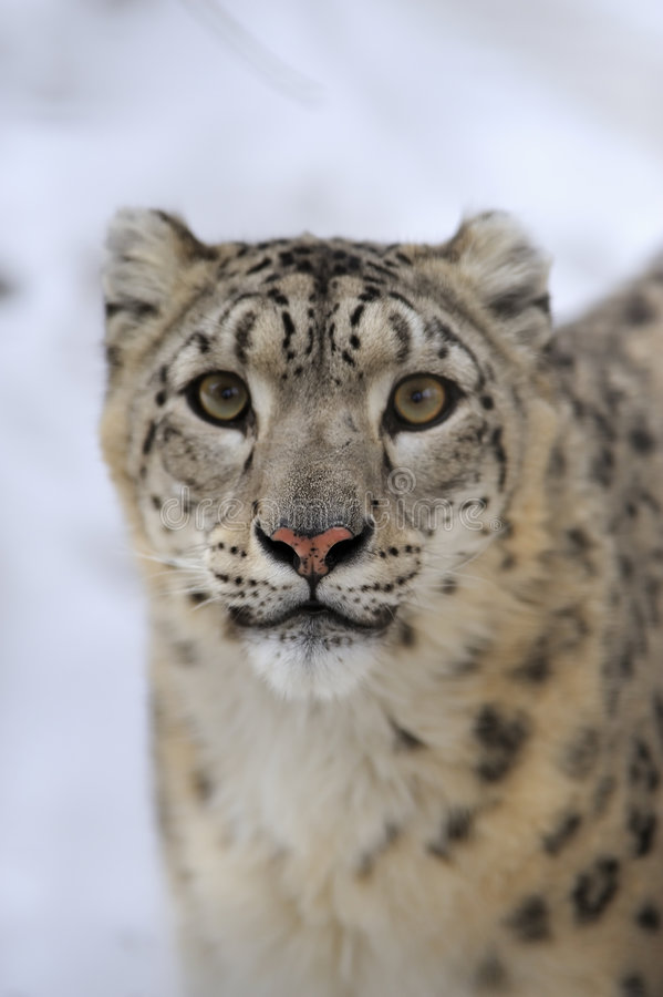 Free Snow Leopard Royalty Free Stock Image - 8474356