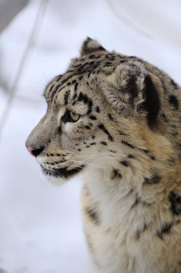 Download Snow leopard stock photo. Image of face, ounce, predator - 8474364