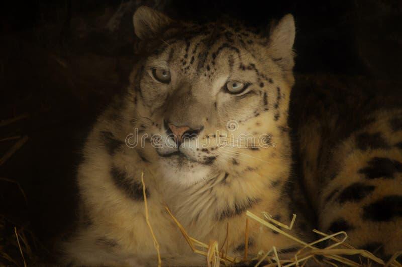 Honda Stateline Snow Leopard Staruptalent