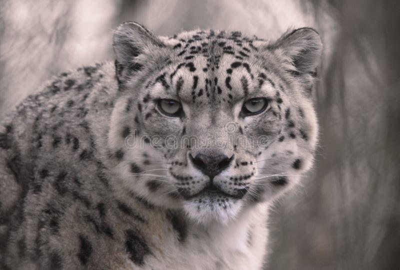 Snow Leopard con el contacto visual fotografía de archivo libre de regalías