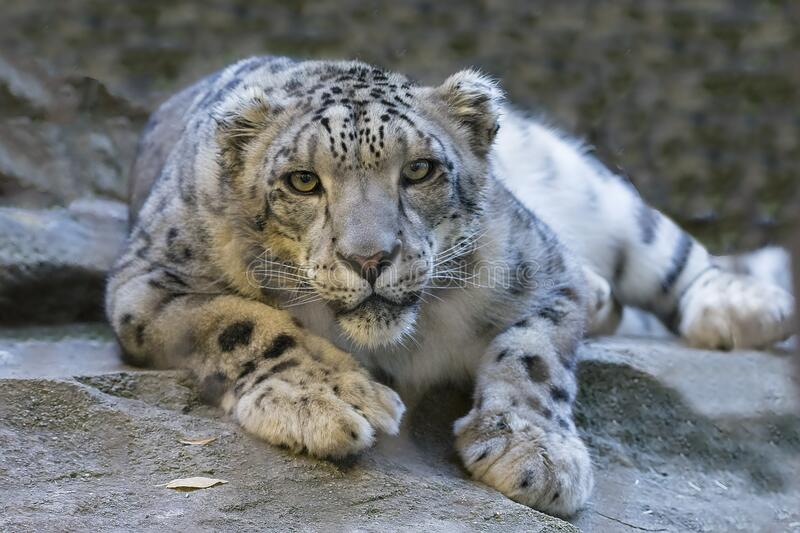 Snow leopard in crouch stock images