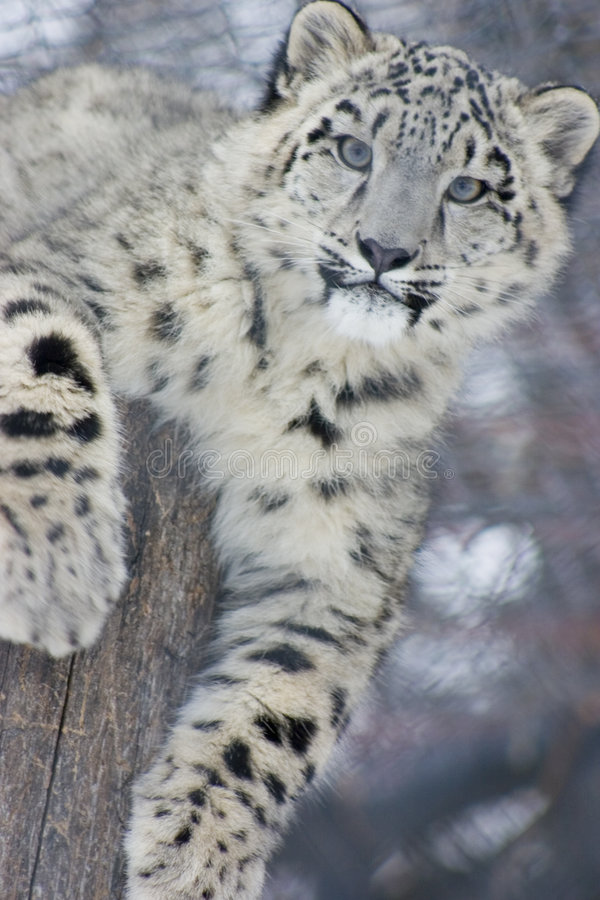 Snow Leopard Cub. A snow leopard cub looking into the camera while laying ontop of a stump