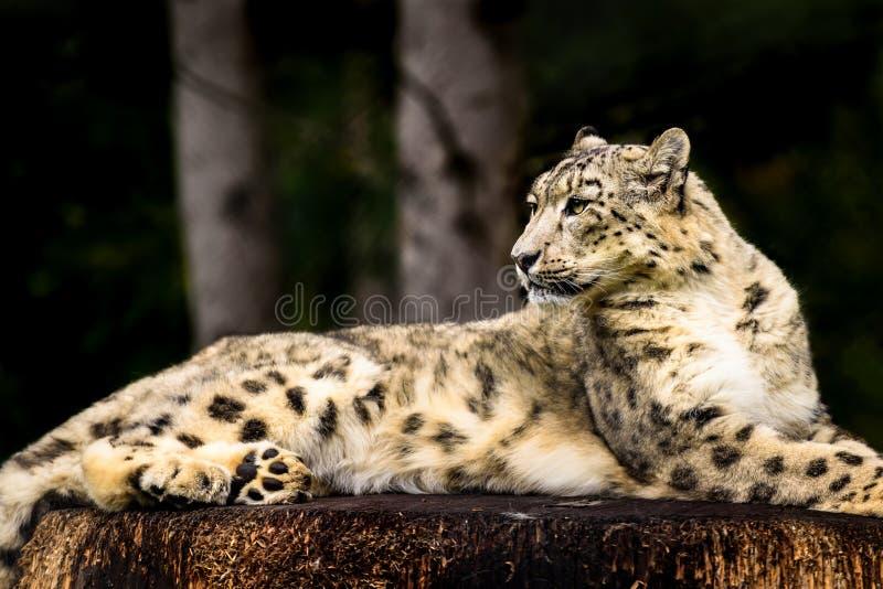 Snow Leopard en un tocón de árbol imagenes de archivo