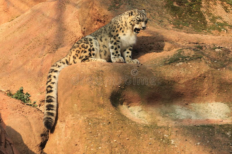 Download Snow leopard juvenile stock image. Image of rock, wild - 22182685