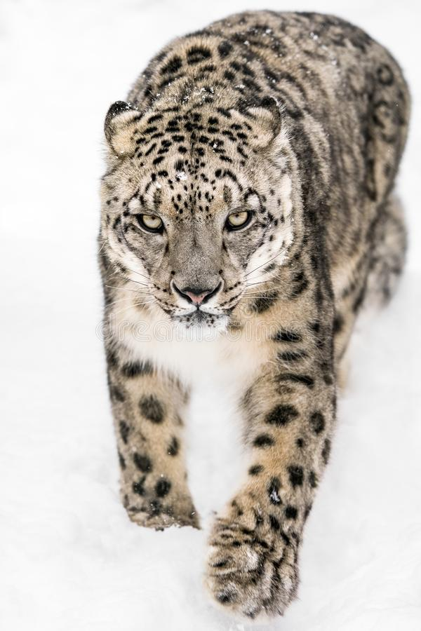 Free Snow Leopard On The Prowl XIV Royalty Free Stock Images - 110942129