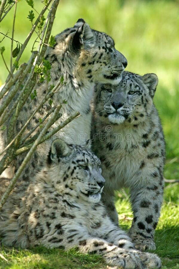 Free Snow Leopard Or Ounce, Uncia Uncia, Mother With Old Cub Royalty Free Stock Photography - 196844607