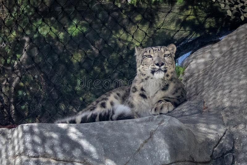 Snow leopard panthera uncial in zoo royalty free stock image