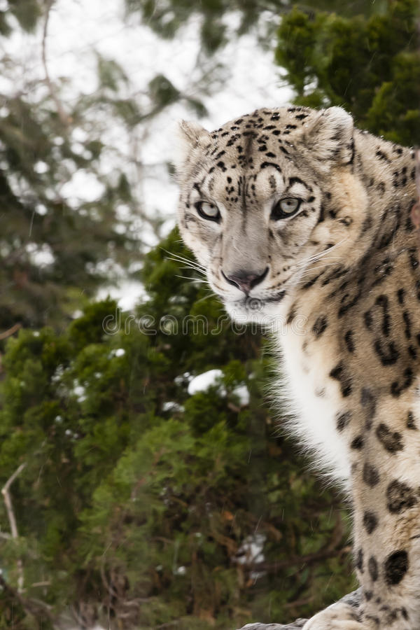 Snow Leopard with Piercing Eyes Gazing stock photos