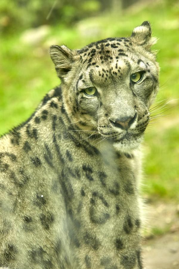 Snow leopard portrait of an animal stock photography