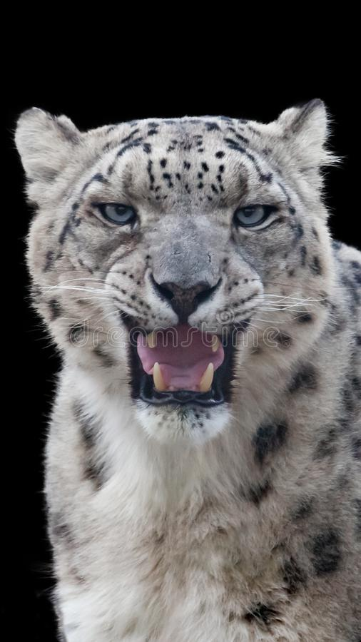 Snow leopard portrait with a black background stock photography