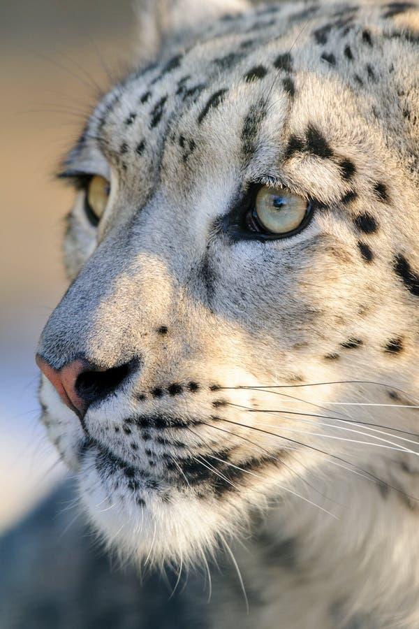 Snow leopard portrait stock photography