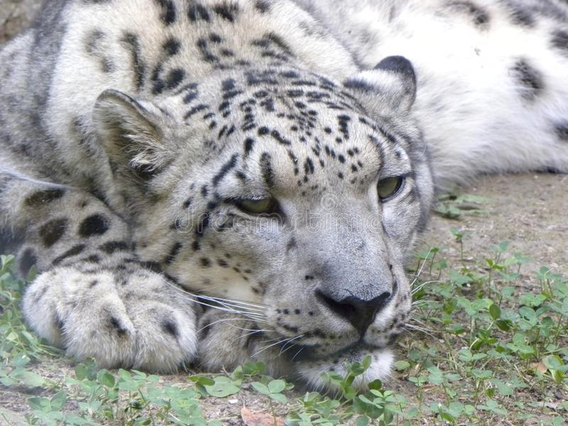 Snow leopard. A snow leopard resting on a field with the head on his forelegs royalty free stock images