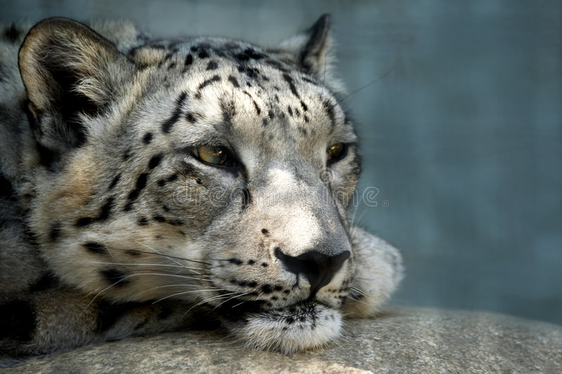 Snow leopard resting on a rock. Looking off into the distance royalty free stock photography