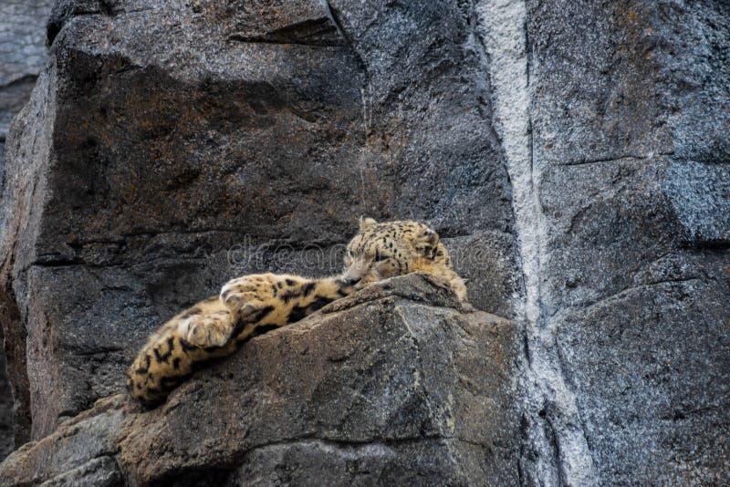 Snow Leopard resting stock photo