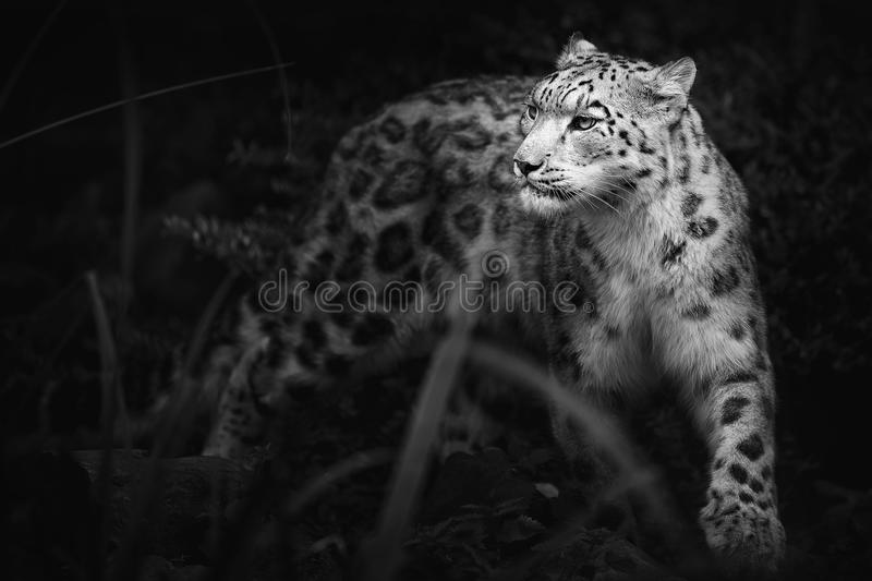 Snow leopard,Panthera uncia,large cat native to the mountain ranges of Central and South Asia royalty free stock photo