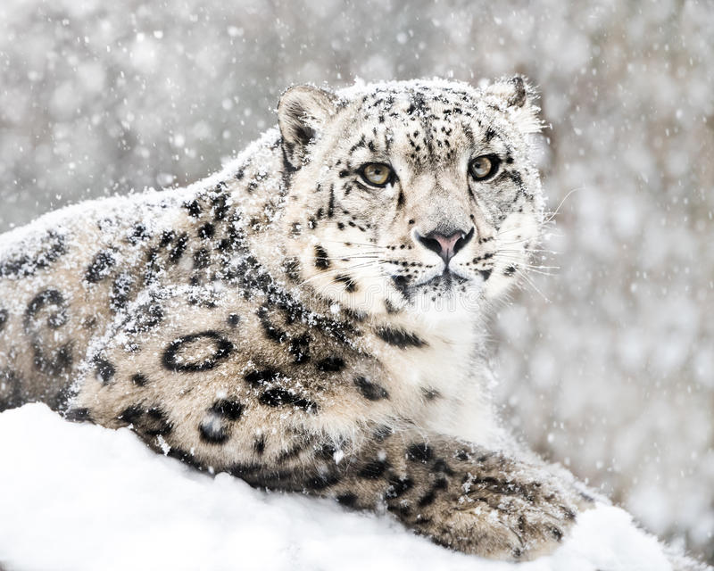 Snow Leopard In Snow Storm III. Frontal Portrait of Snow Leopard in Snow Storm royalty free stock images