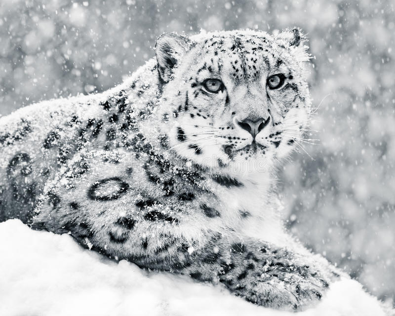Snow Leopard In Snow Storm III royalty free stock photo