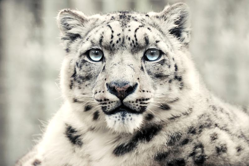 Snow leopard, special mountain predator royalty free stock photography