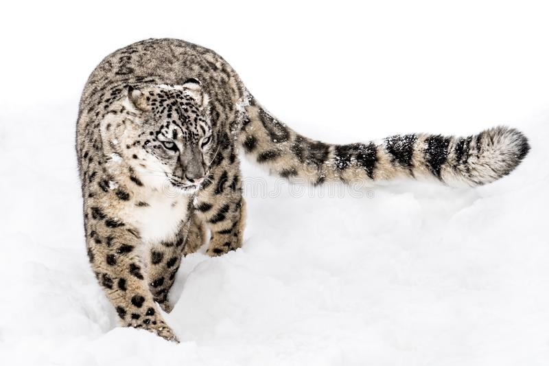 Snow Leopard on the Prowl XV. Snow Leopard Walking in Snow with Tail Extended stock image