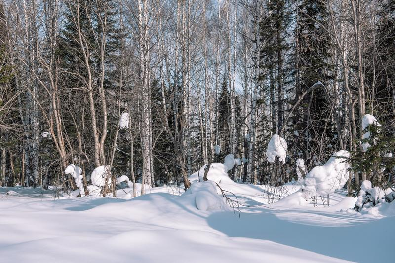 Snow lies on the branches of a tree. Scenic winter forest. The sun in the winter forest. Winter branches closeup. Winter in Siberia royalty free stock images