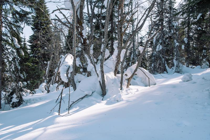 Snow lies on the branches of a tree. Scenic winter forest. The sun in the winter forest. Winter branches closeup. Winter in Siberia royalty free stock photo