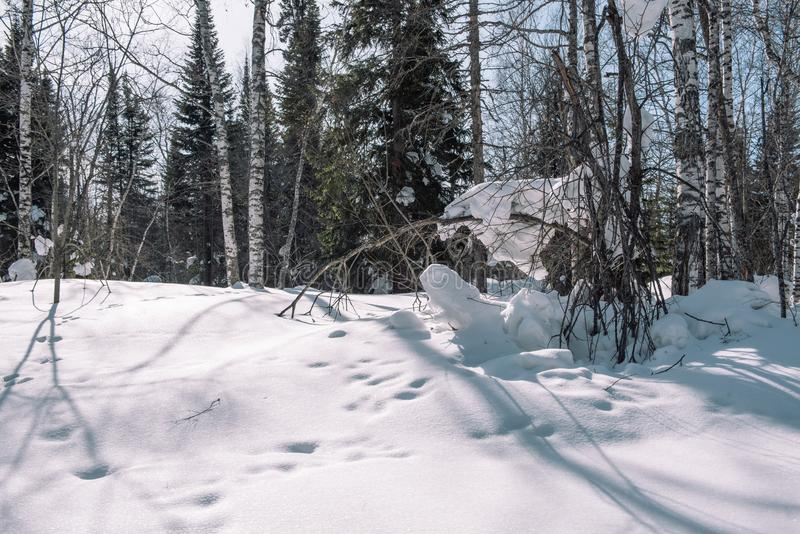 Snow lies on the branches of a tree. Scenic winter forest. The sun in the winter forest. Winter branches closeup. Winter in Siberia stock photos