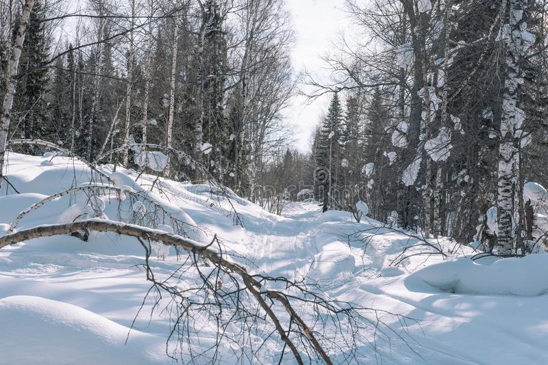 Snow lies on the branches of a tree. Scenic winter forest. The sun in the winter forest. Winter branches closeup. Winter in Siberia royalty free stock image