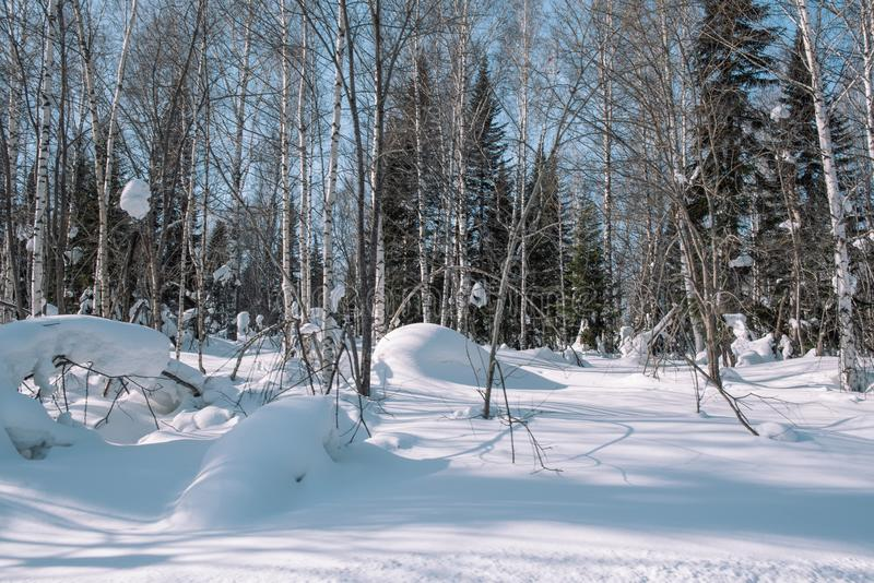 Snow lies on the branches of a tree. Scenic winter forest. The sun in the winter forest. Winter branches closeup. Winter in Siberia royalty free stock photos