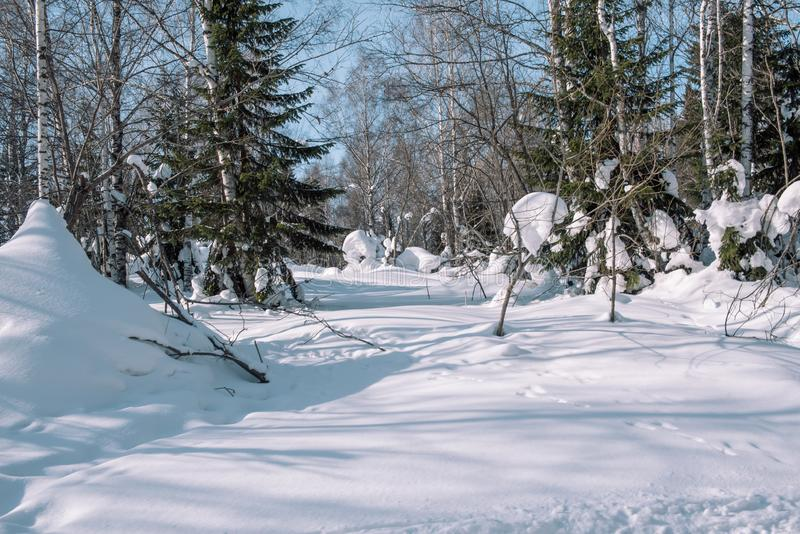 Snow lies on the branches of a tree. Scenic winter forest. The sun in the winter forest. Winter branches closeup. Winter in Siberia stock photography