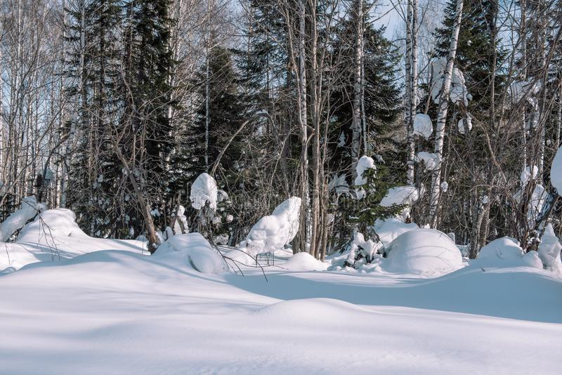 Snow lies on the branches of a tree. Winter landscape. Winter forest. Snow on the branches close-up. Winter in Siberia stock image