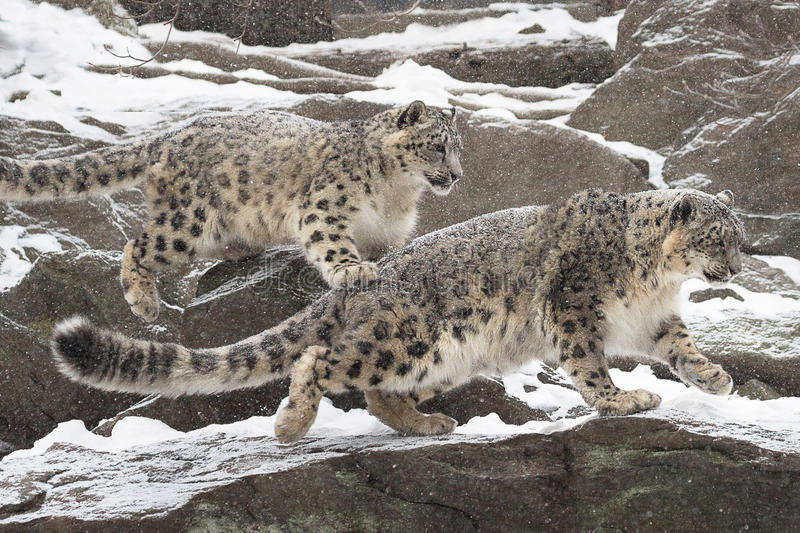 Snow Mates. A pair of young snow leopards enjoying each other as they bound across the rocks-Bronx Zoo New York stock photography