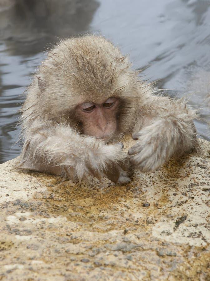 Snow monkey. At Jigokudani near Nagano, Japan royalty free stock photo