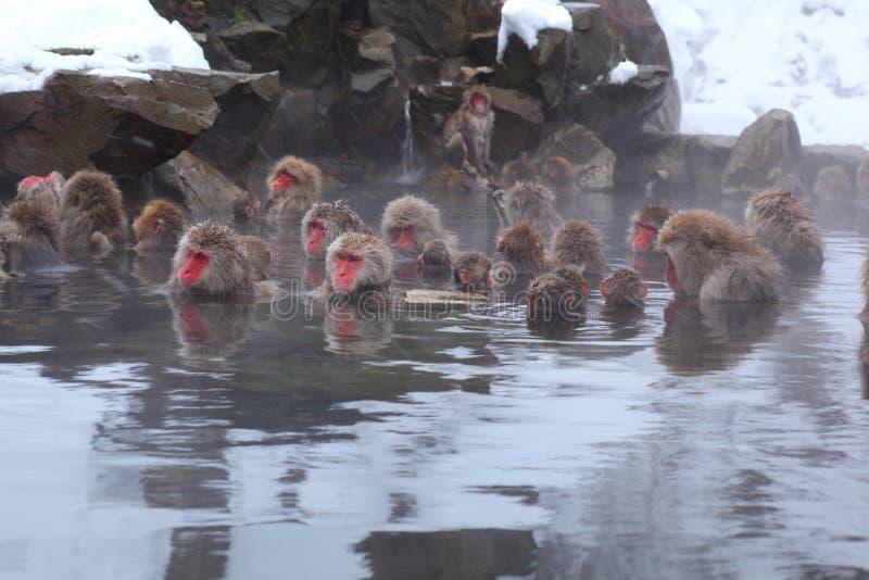 Snow monkey. In hot spring, Jigokudani, Nagano, Japan stock photography