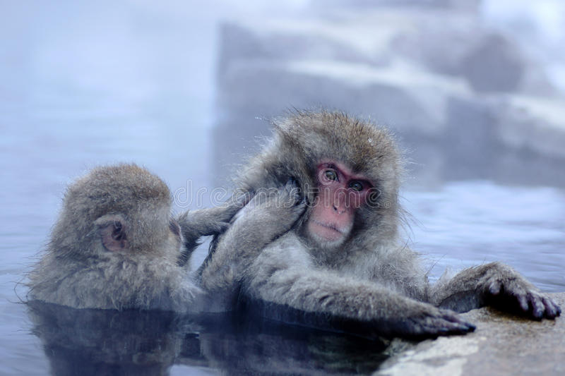 Download Snow Monkey Stock Photography - Image: 37631032