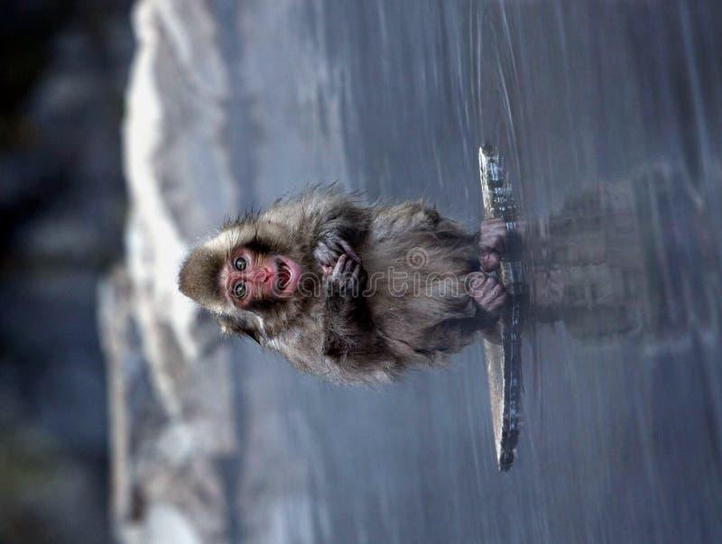 Snow Monkey. At Jigokudani near Nagano, Japan royalty free stock photography