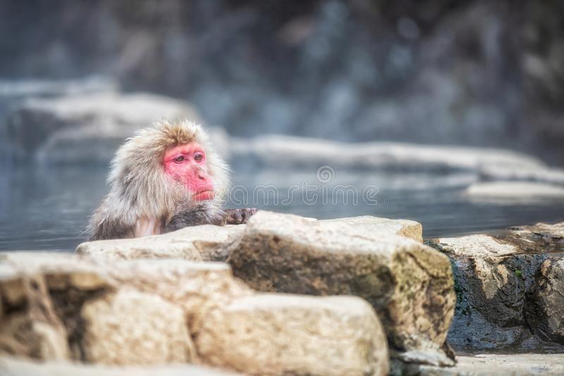 Snow monkey bath at Jigokudani Park. Japanese Snow monkey Macaque relax and bath on hot spring Onsen at Jigokudani monkey Park in winter, Yamanouchi, Nagano royalty free stock images