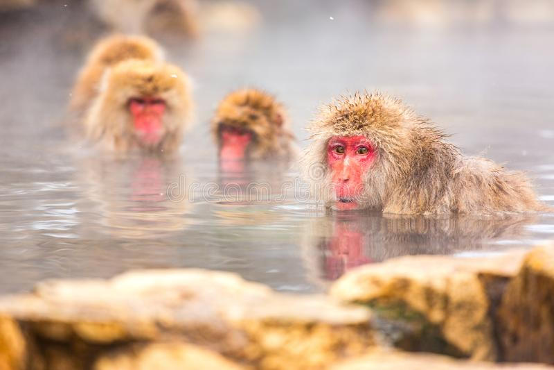 Snow monkey bathe in hot spring. Snow monkey, Japanese macaque bathe in onsen hot spring at Jigokudani wild snow monkey park in Nagano Japan royalty free stock images