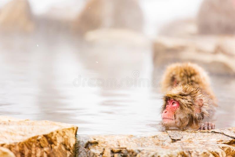 Snow monkey bathe in hot spring. Snow monkey, Japanese macaque bathe in onsen hot spring at Jigokudani wild snow monkey park in Nagano Japan royalty free stock photo